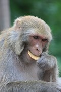 image photo of cute snow monkey capuchin monkey eating cookie
