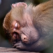 image cute photo of monkey sleeping
